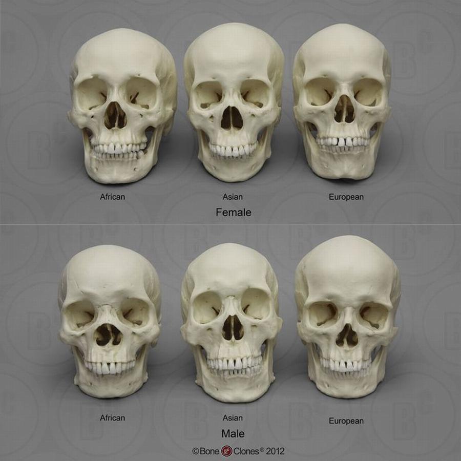 Cráneo humano - De frente