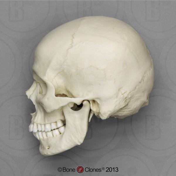 Cráneo New 3