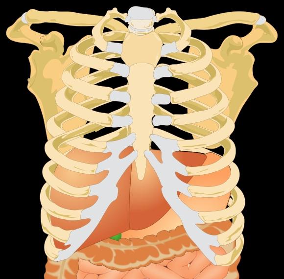 Estómago - Hígado - New